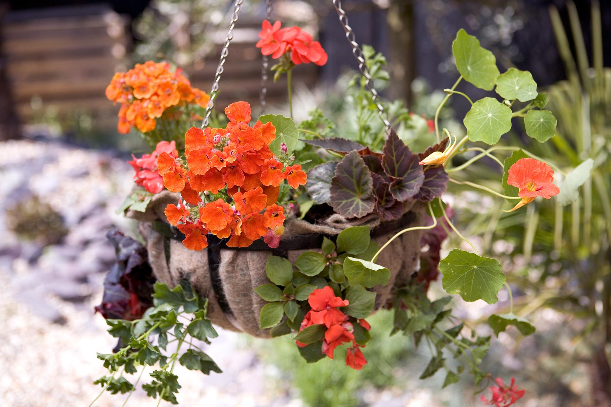 geranium-nemesia-and-nasturtium-hanging-basket-3