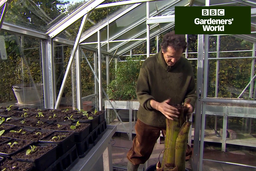 How to protect a tender banana plant over winter part three video