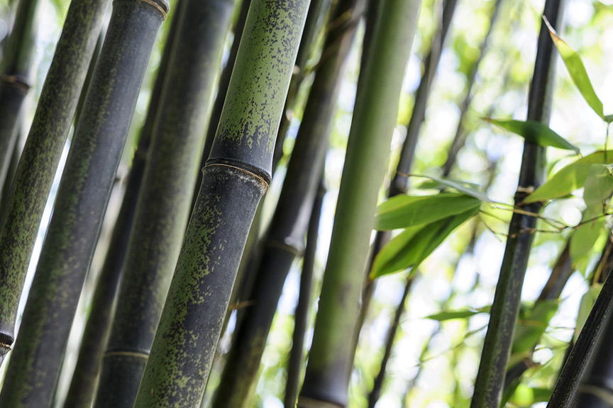 How can I prevent a black bamboo spreading