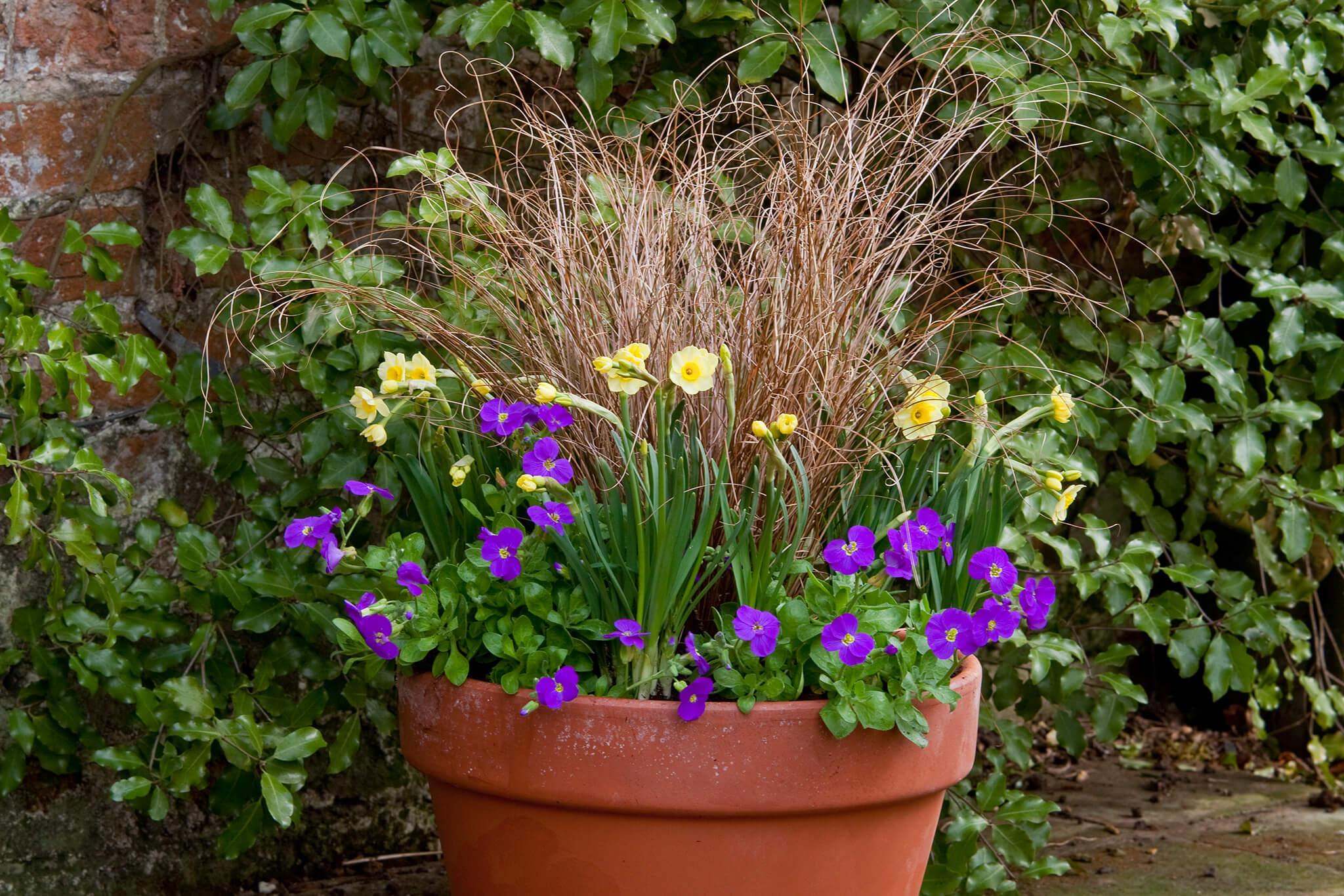 Narcissus and aubrieta pot