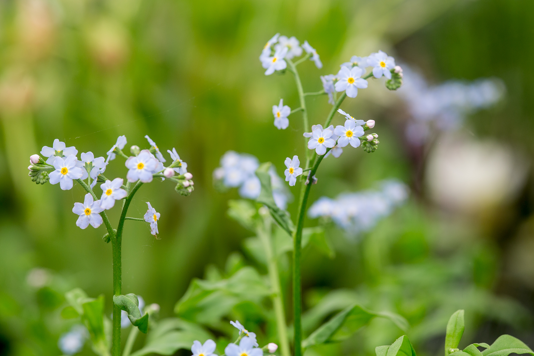 water-forget-me-not-mysotis-scorpiodes-2