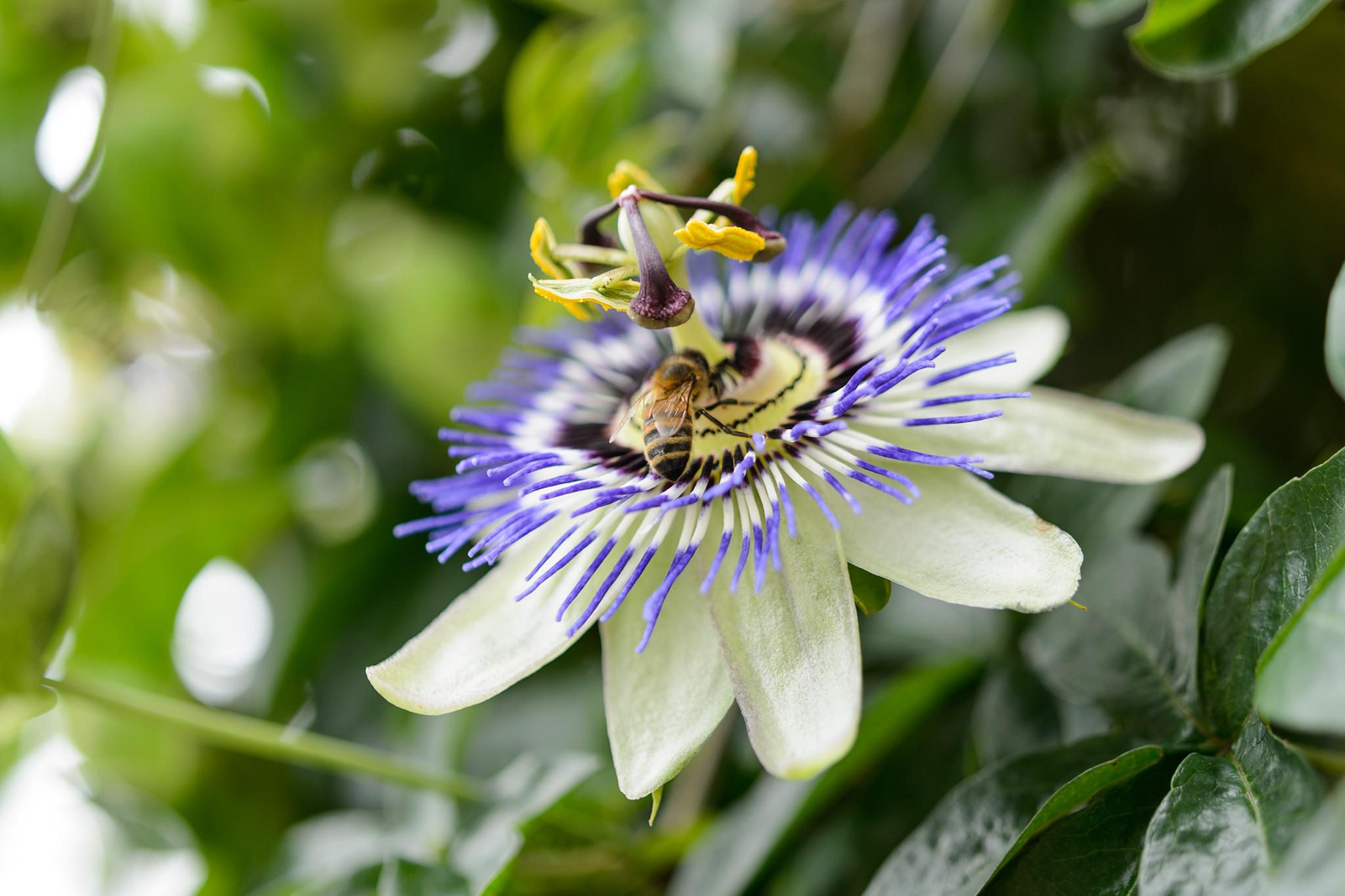 passion-flower-9