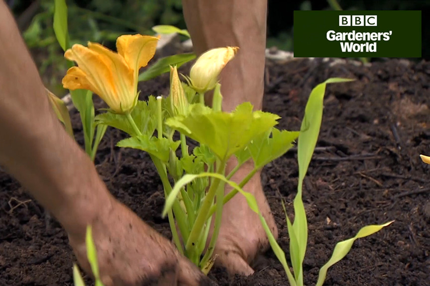 How to companion-plant sweetcorn and courgettes video