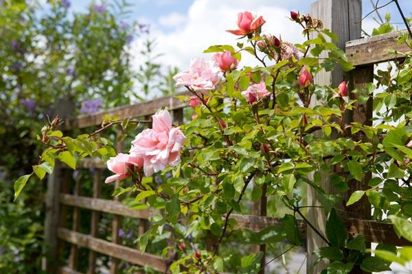 rosa-albertine-4