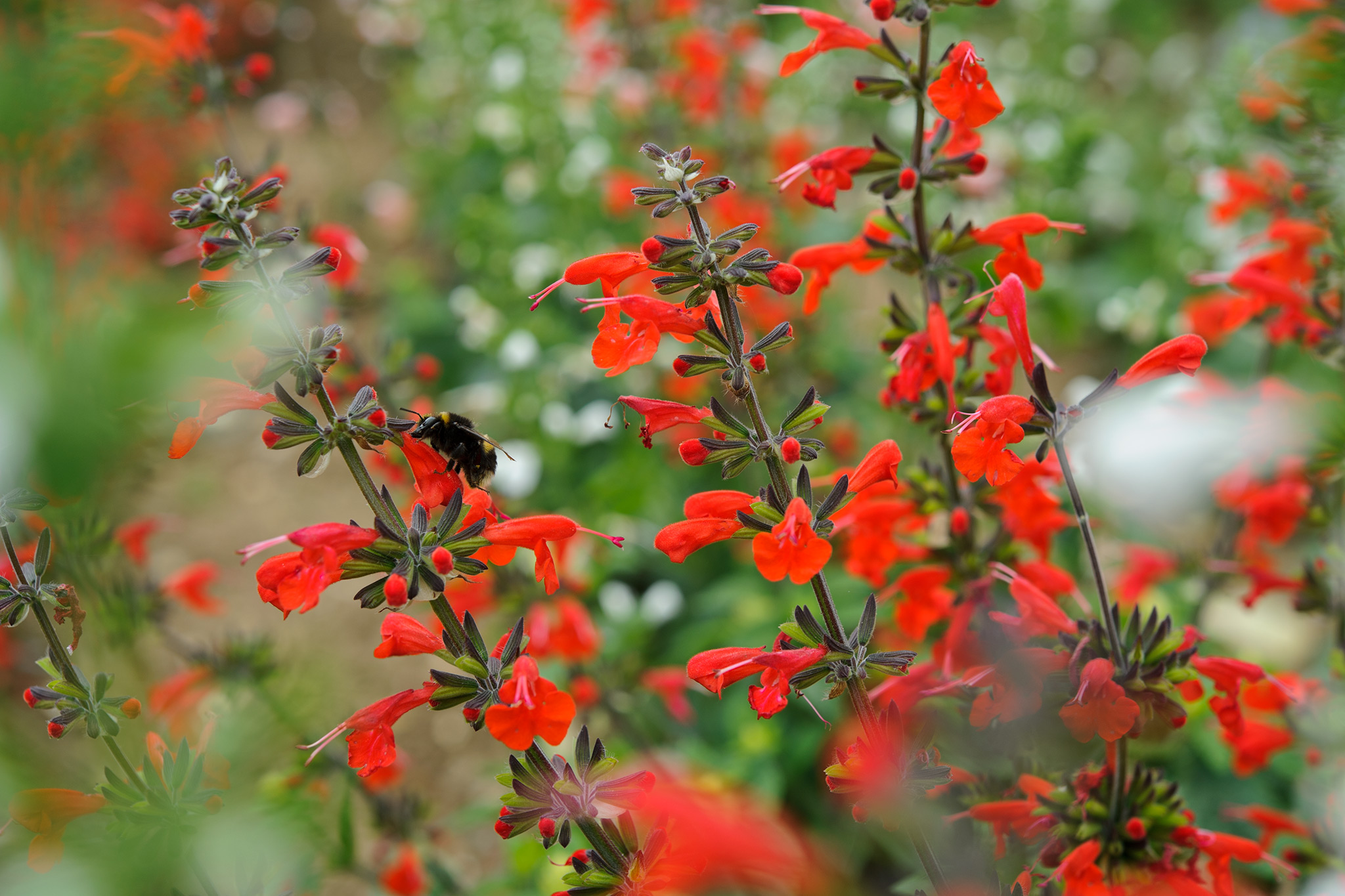 salvia-coccinea-hummingbird-mixed-2