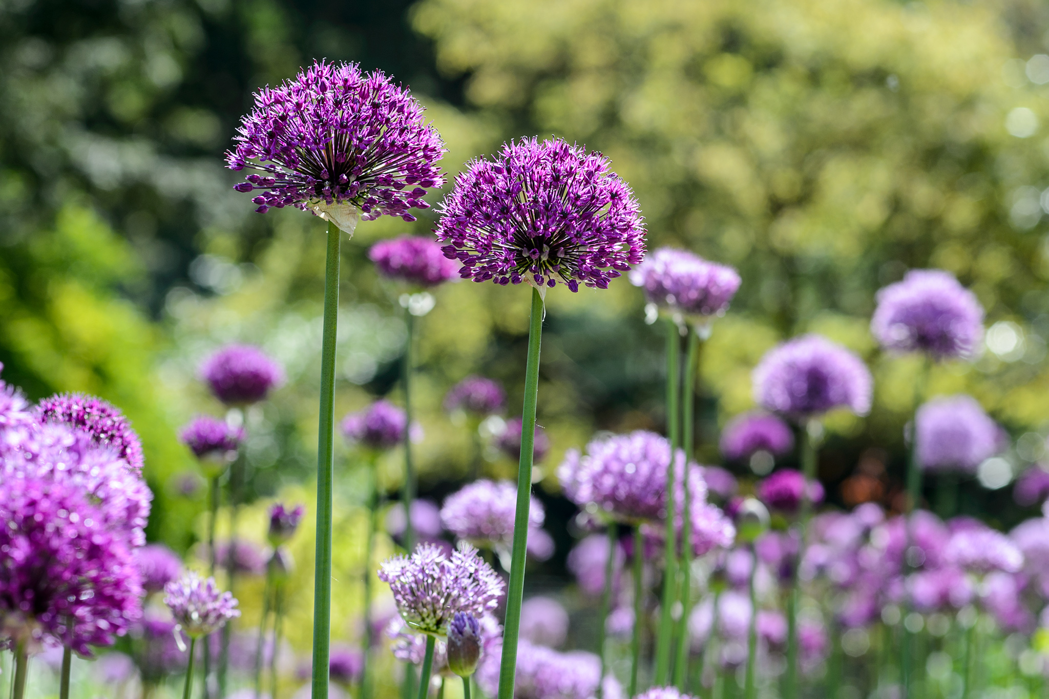 Alliums in a border