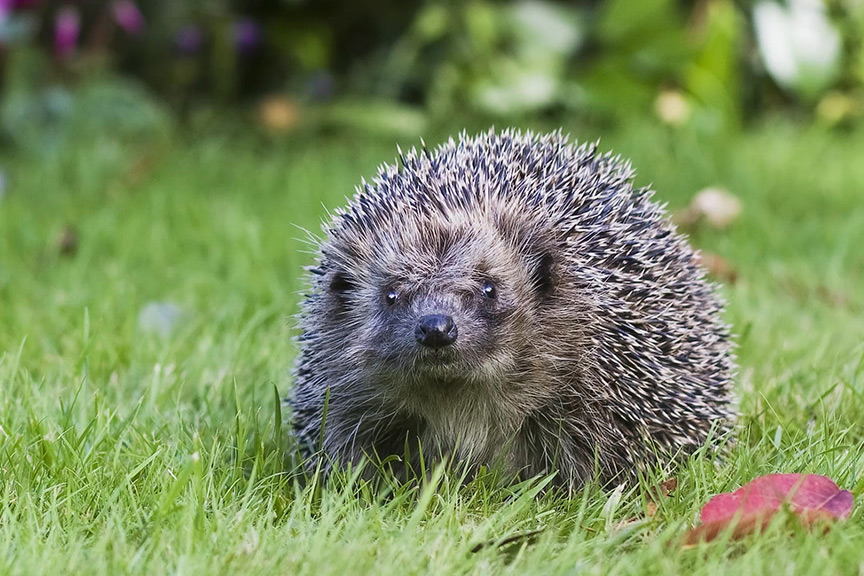Encourage hedgehogs to visit your garden
