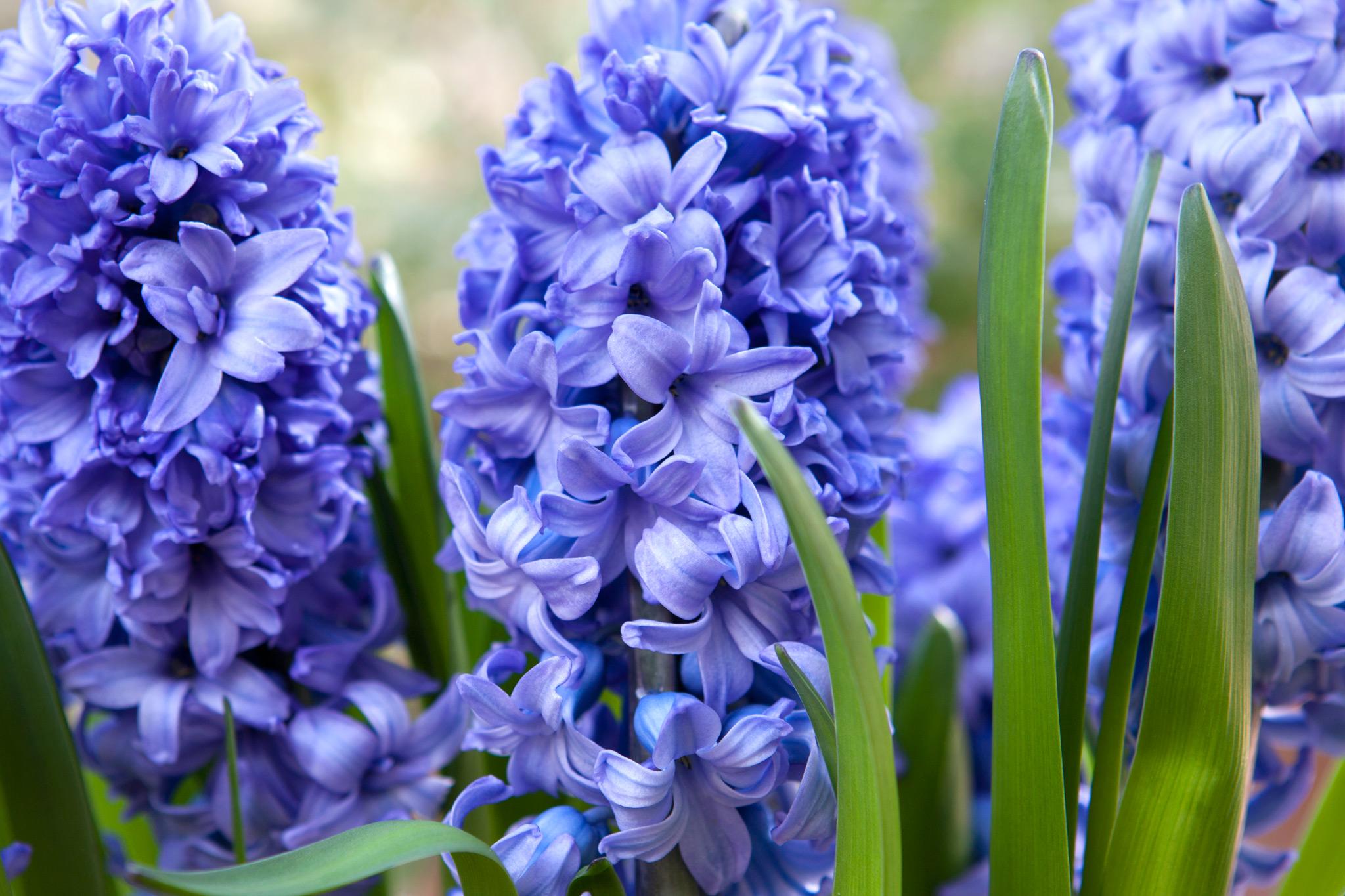blue-hyacinths-in-flower-3