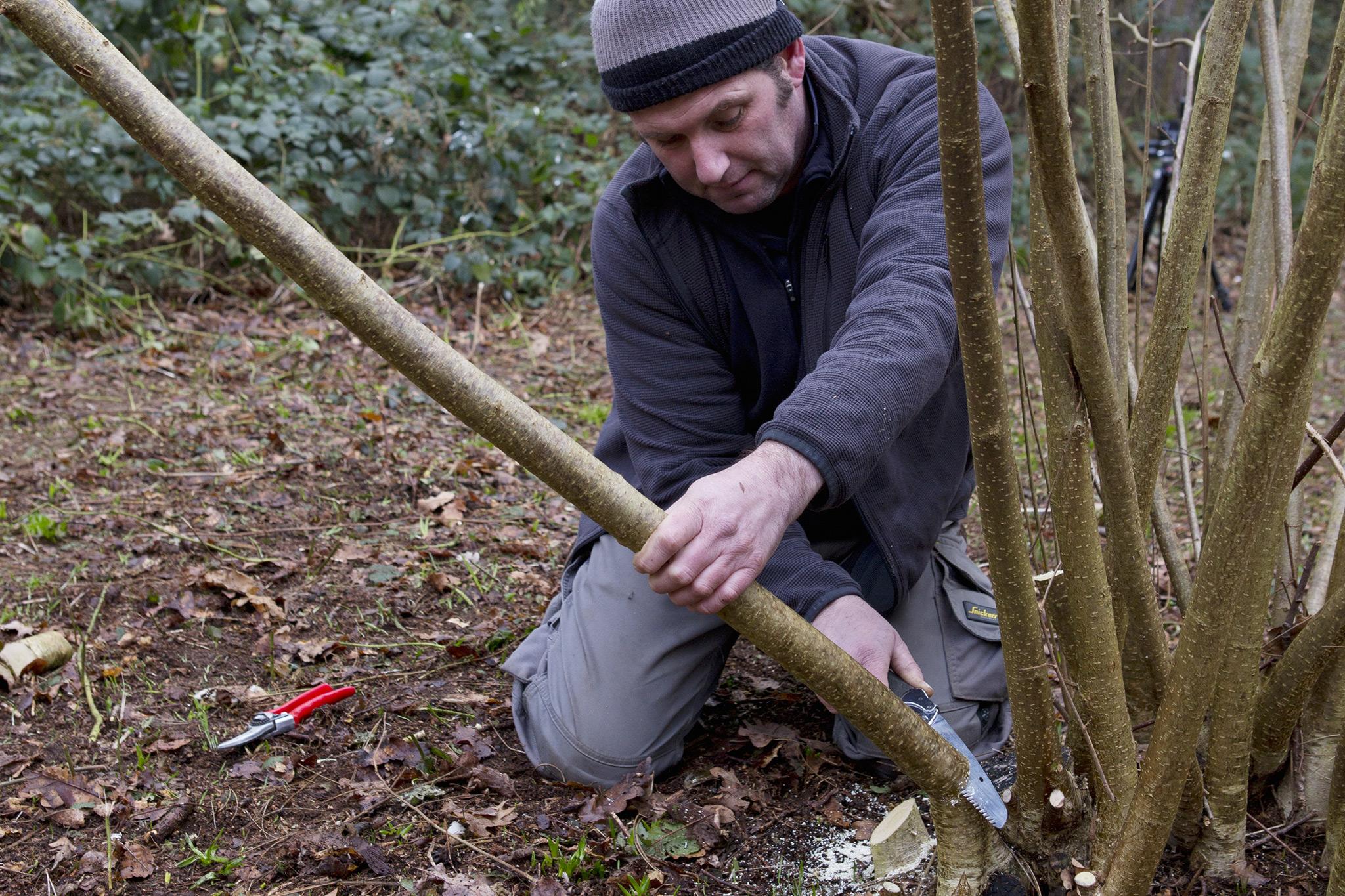 Coppicing hazel. Credit: Royal Botanic Gardens, Kew