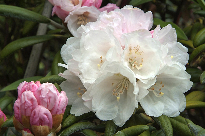 Why will my rhododendrons not flower
