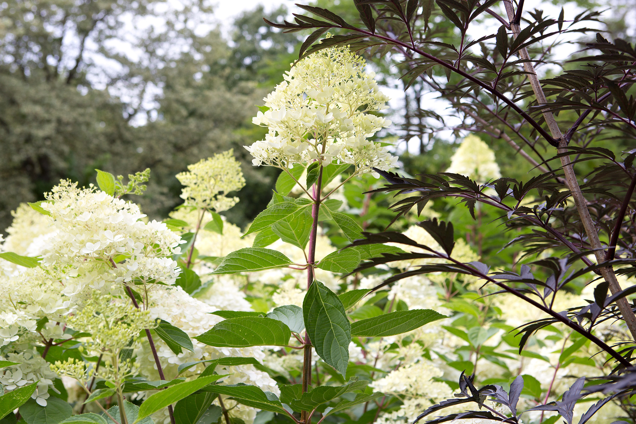 hydrangea-paniculata-phantom-2