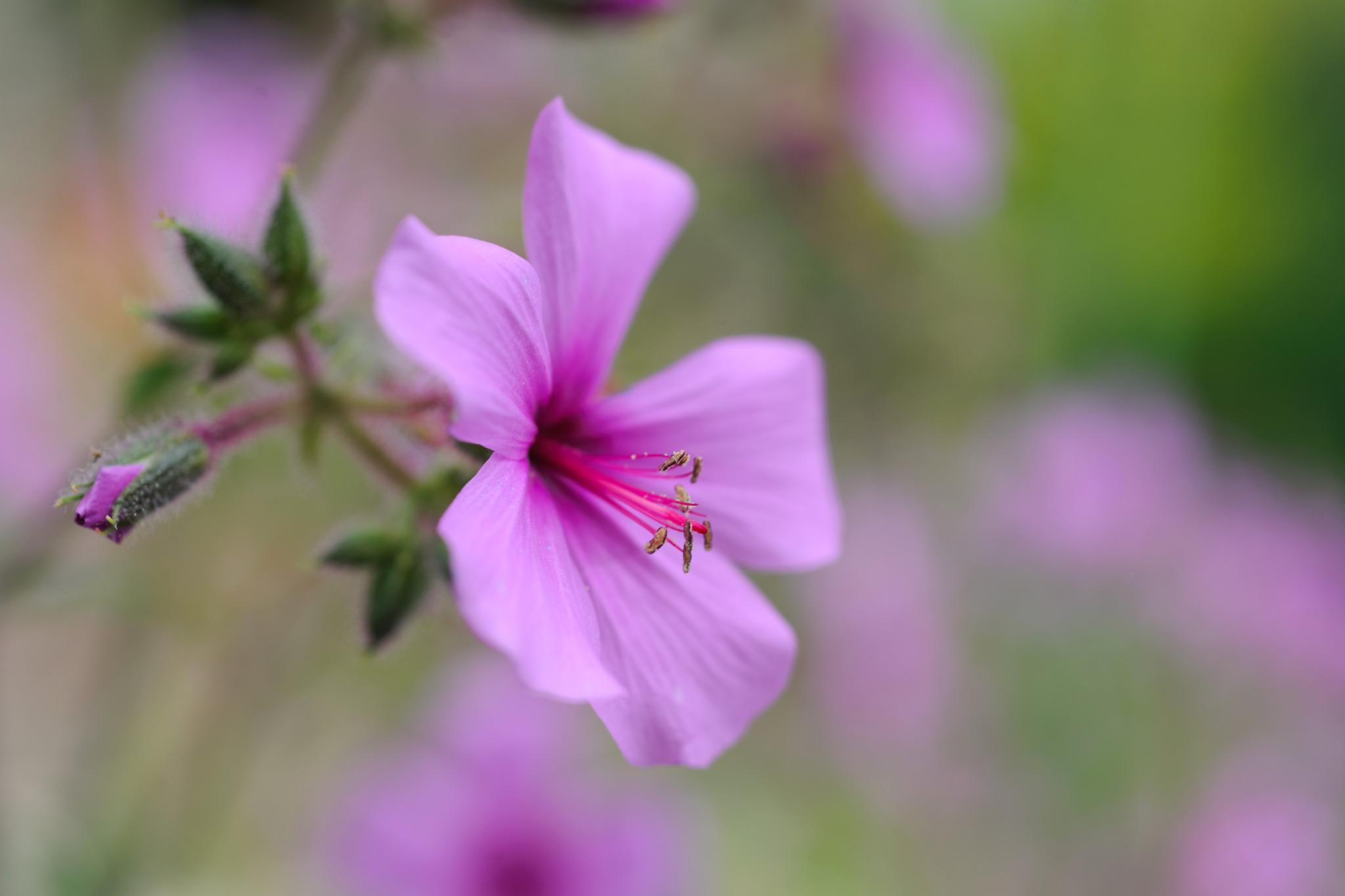 geranium-maderense-2