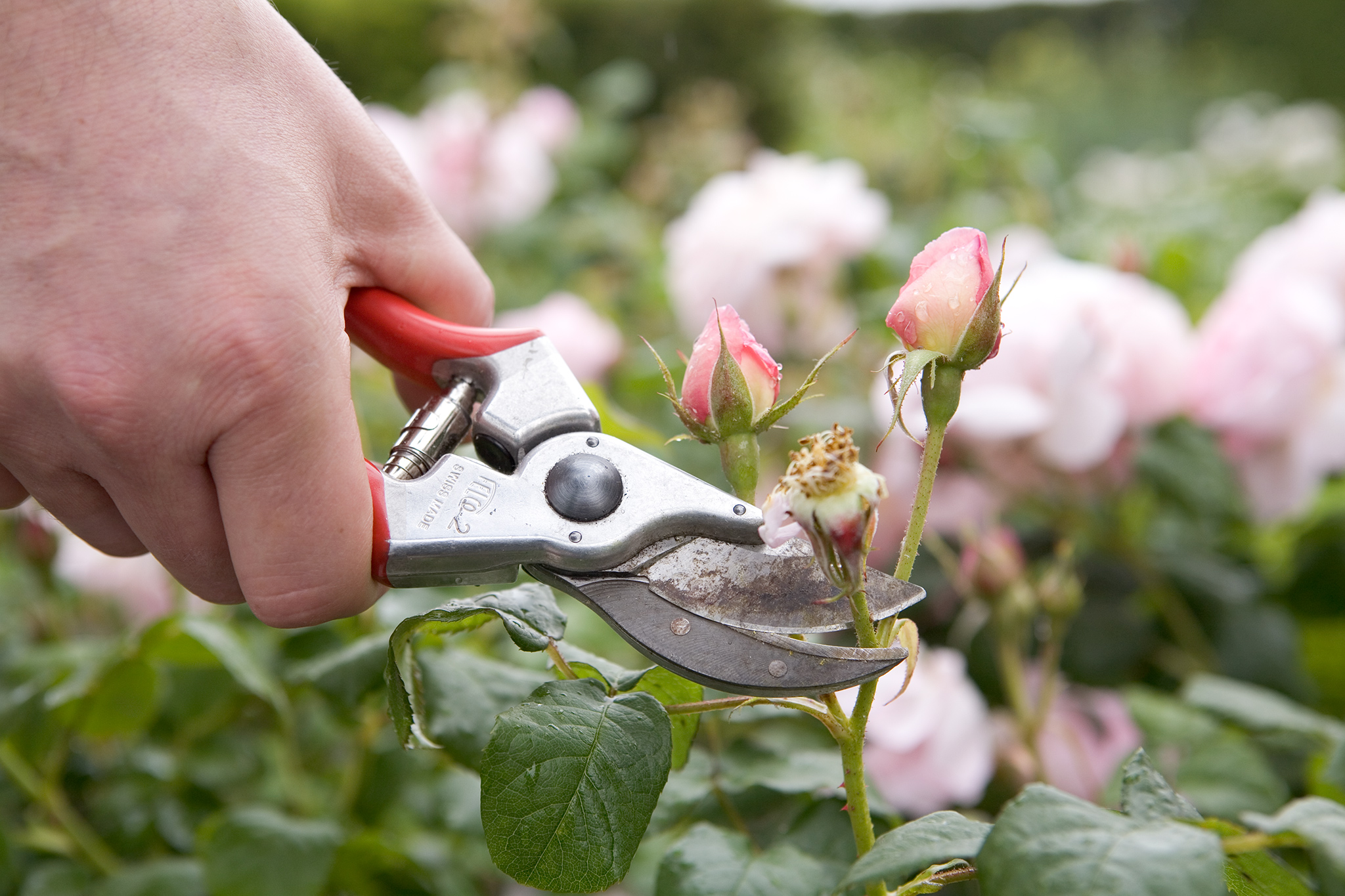 deadheading-roses-6