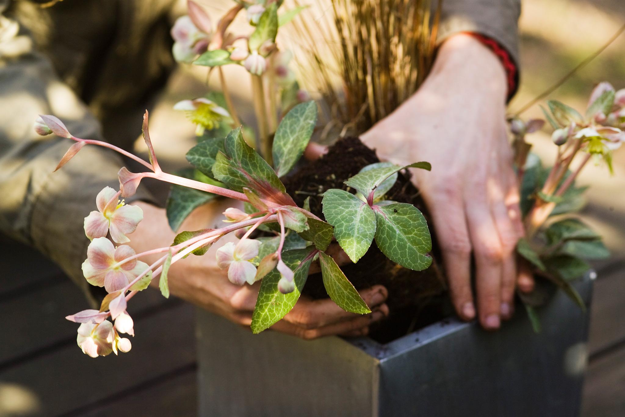 planting-a-hellebore-2