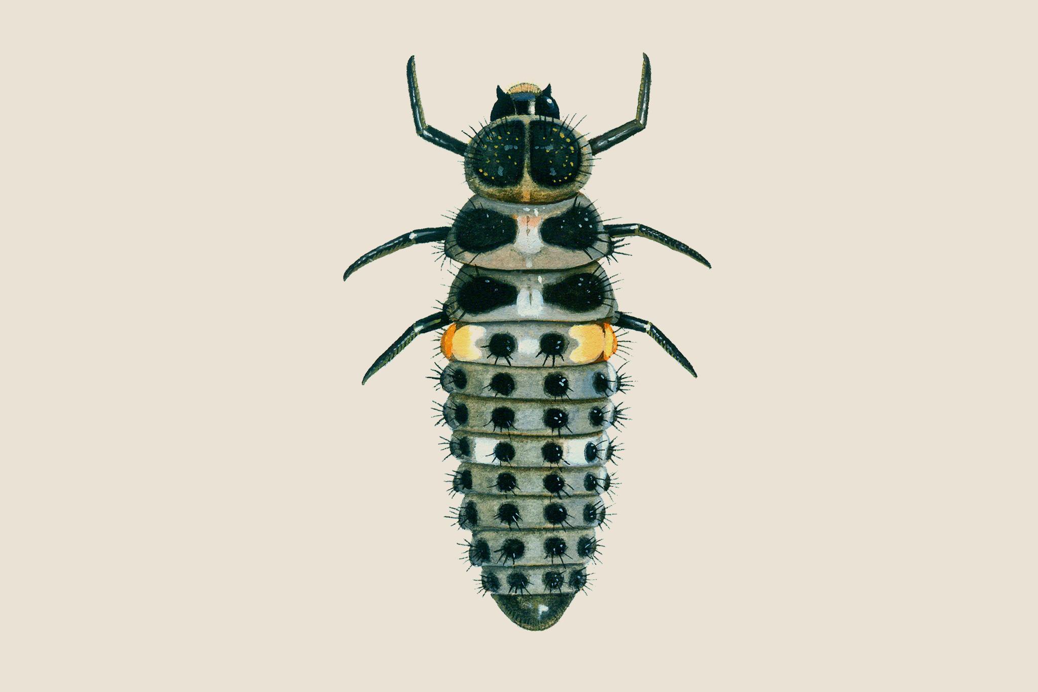 Ten-spot ladybird larvae