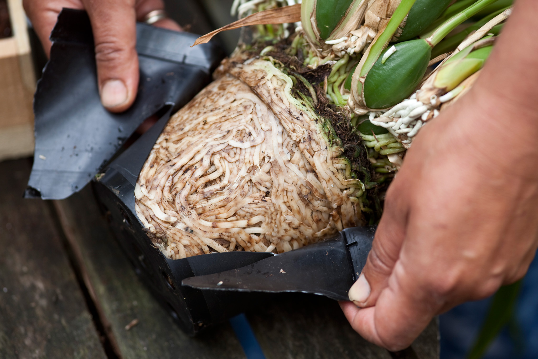 repotting-orchids-lift-the-plant-out-of-its-pot-2