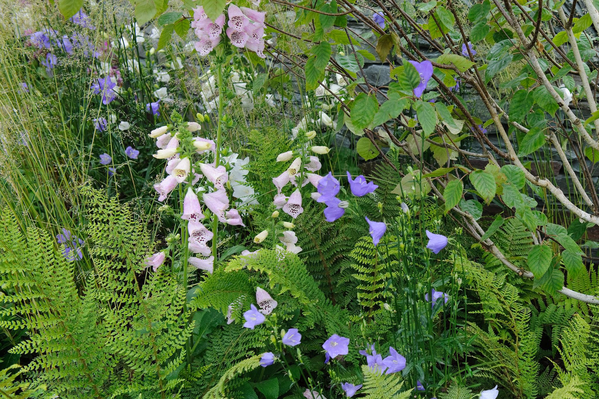 ferns-foxgloves-and-campanulas-3
