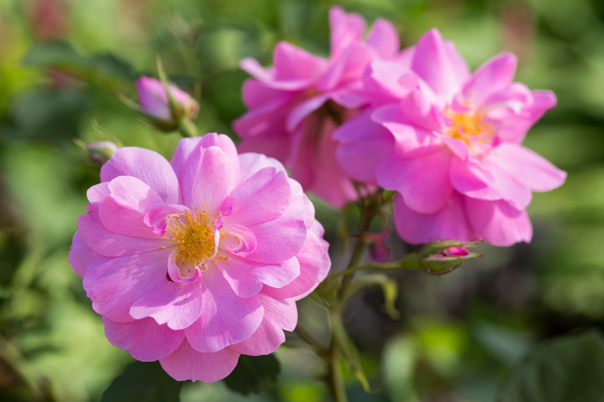 rosa-cariad-2