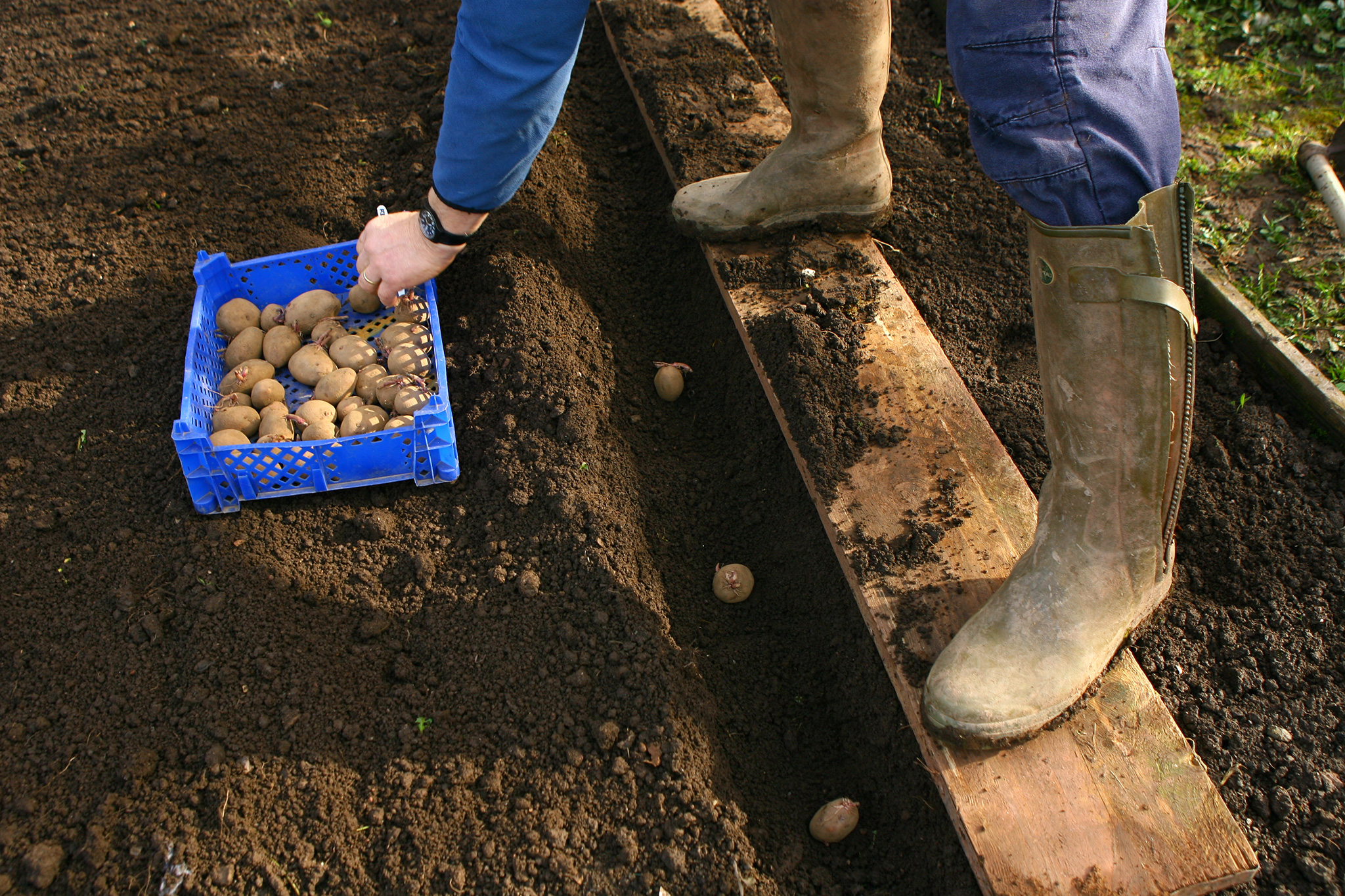 planting-seed-potatoes-3