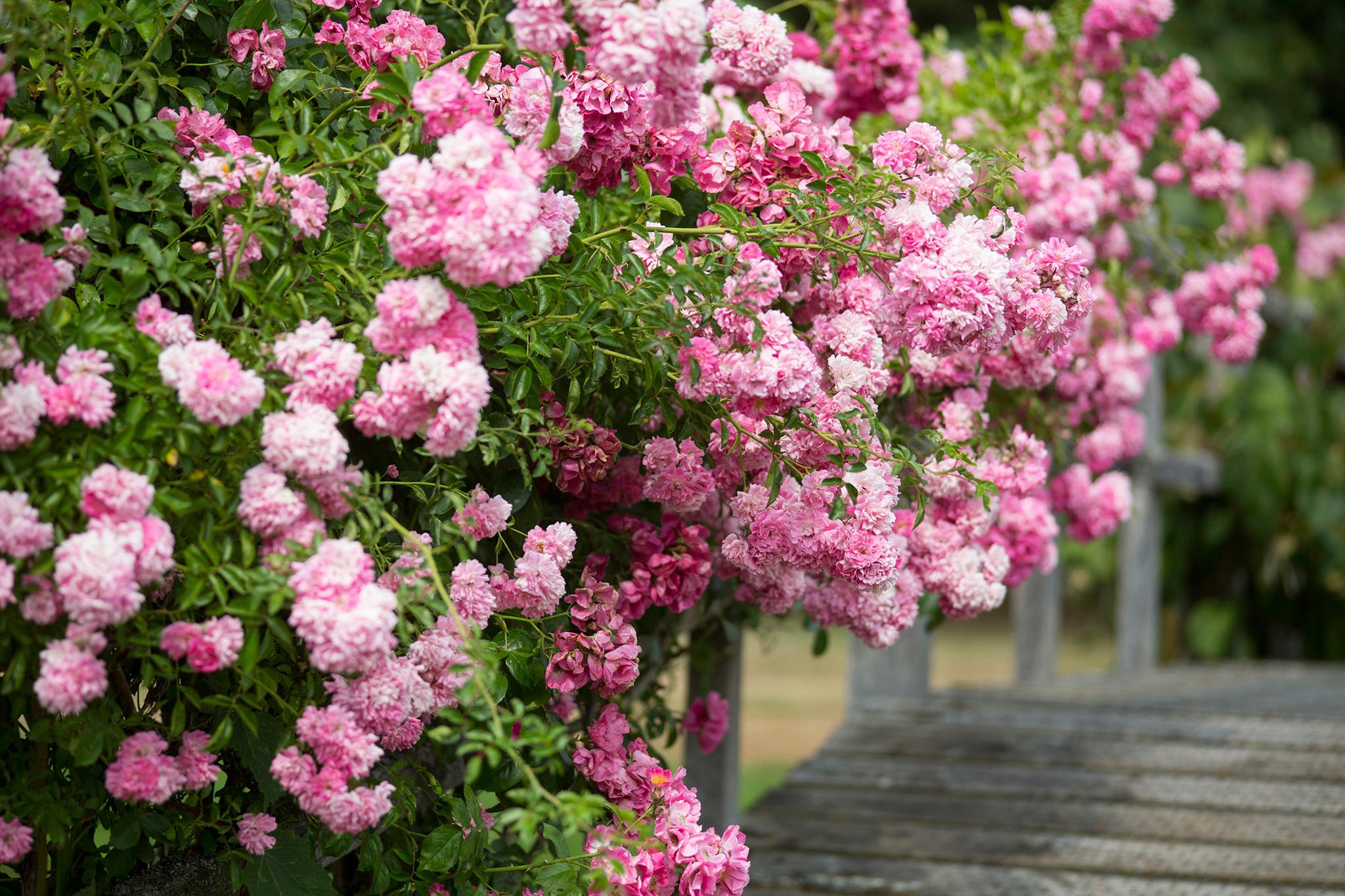 Roses In Garden: Gardenersworld.com