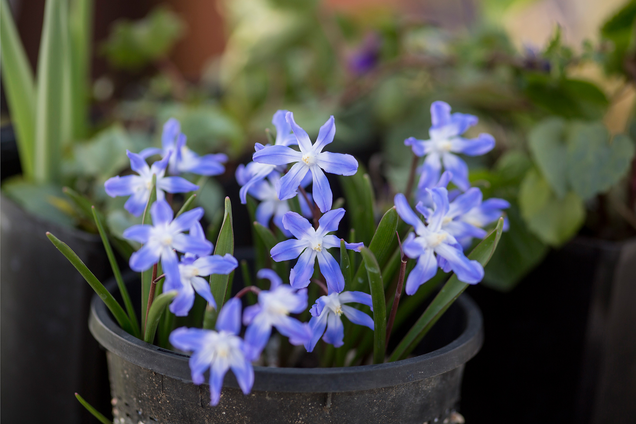Five bulbs for march flowers gardenersworld the dainty star shaped flowers of chionodoxa bulbs like pink giant look the most impactful when planted in large drifts as youd see with other mightylinksfo