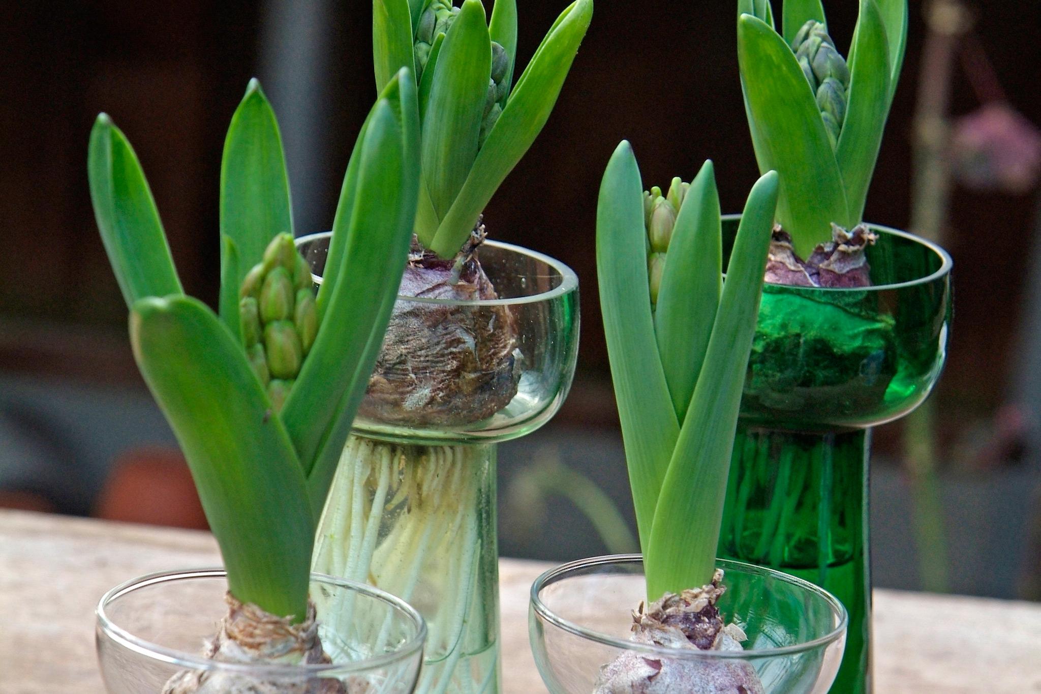 hyacinth-shoots-3