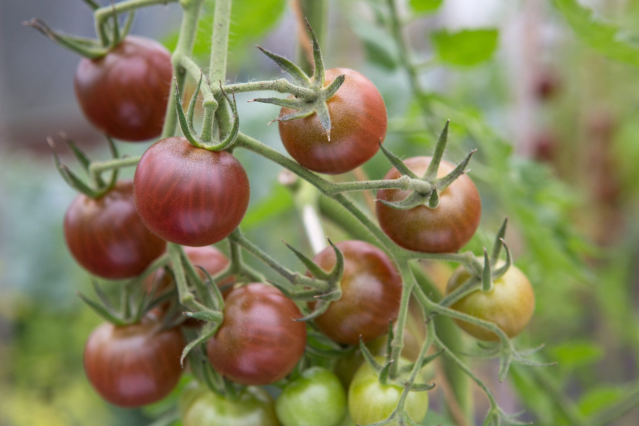 tomato-black-cherry-3