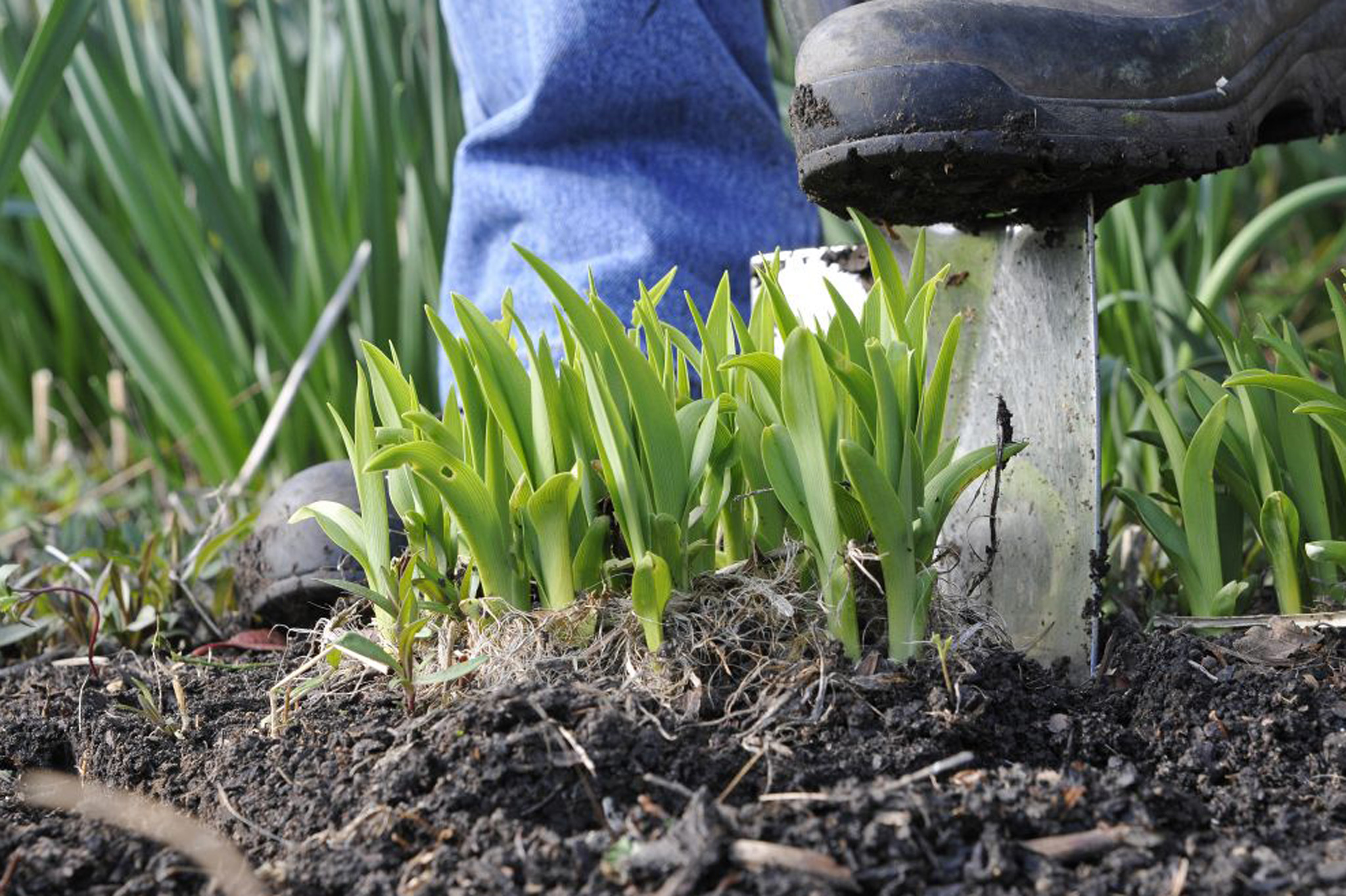 loosening-soil-around-congested-perennials-2