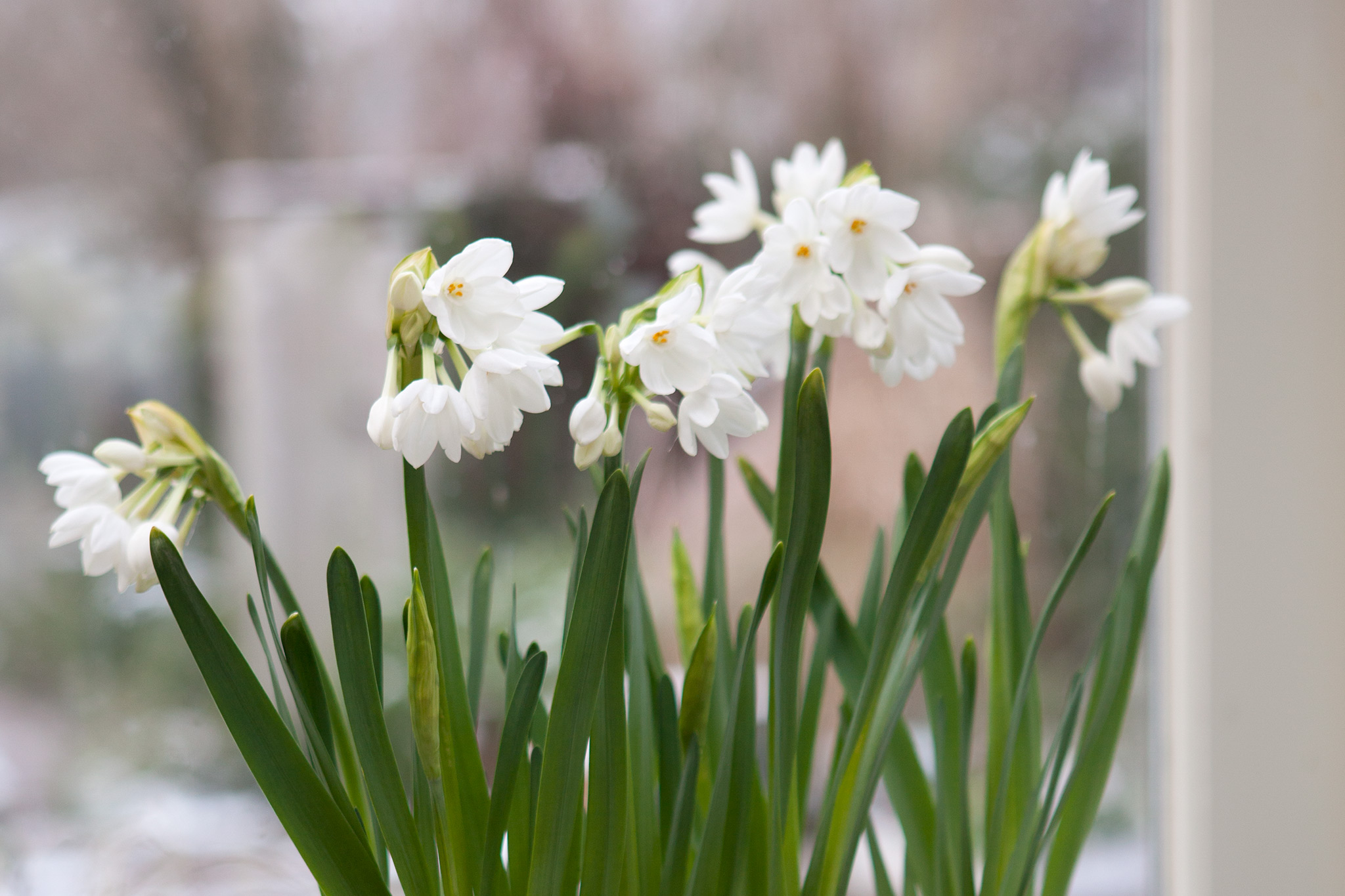 paperwhite-narcissi-14