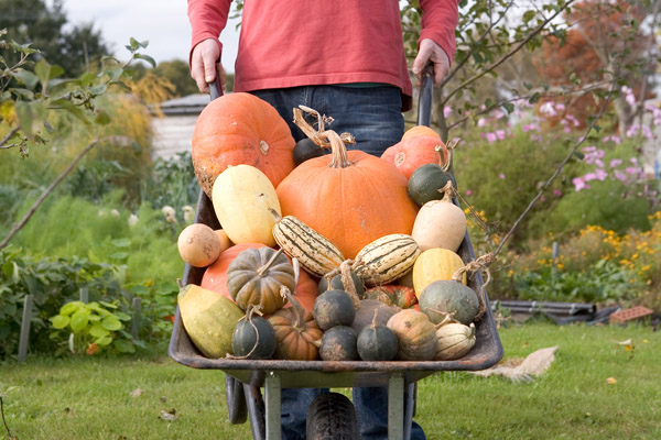 harvesting-pumpkins-and-squash-6