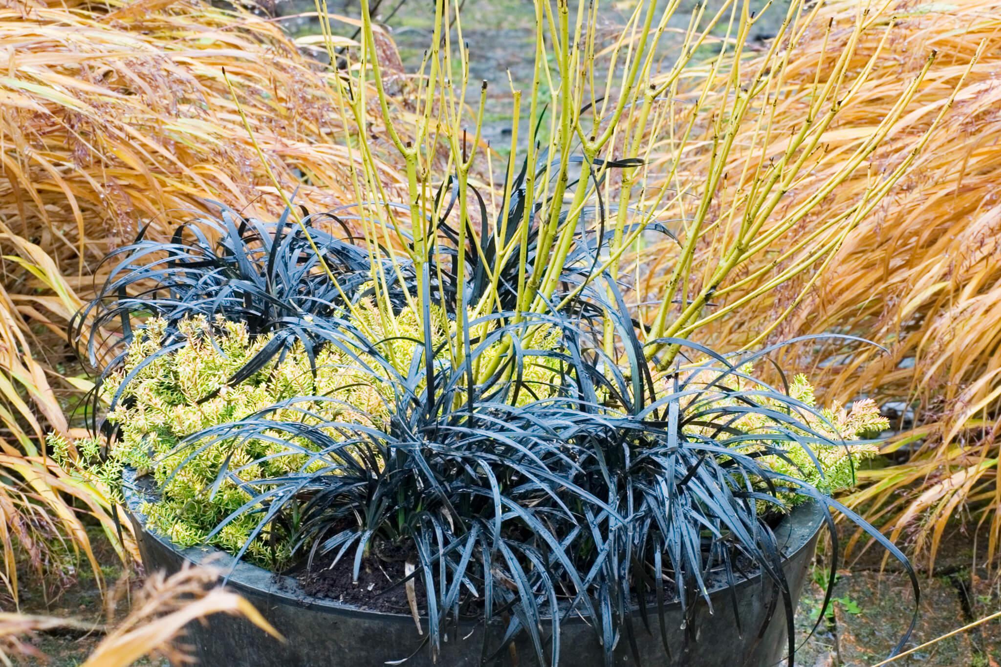 ophiopogon-and-cornus-winter-container-2