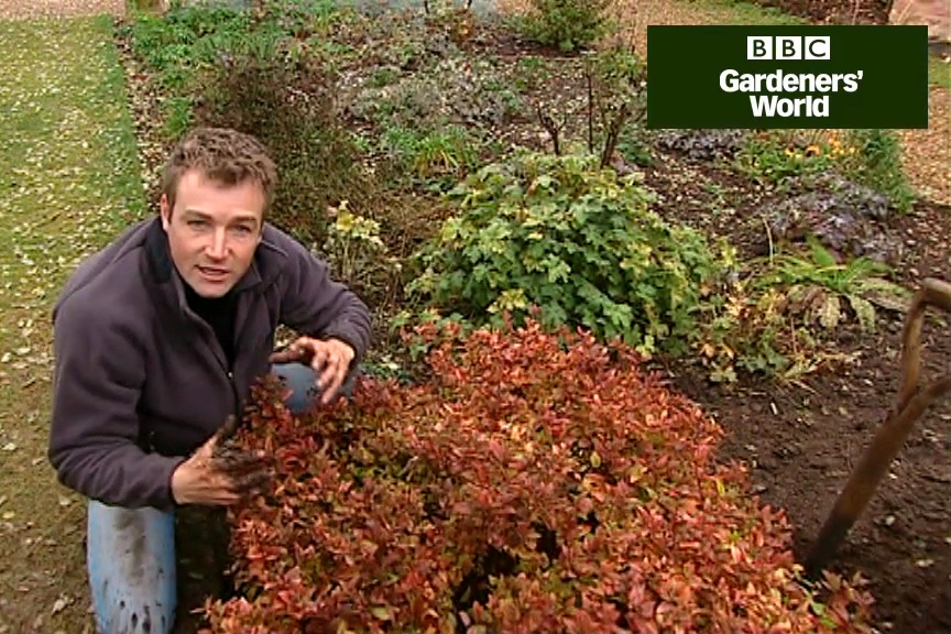 How to transplant shrubs video