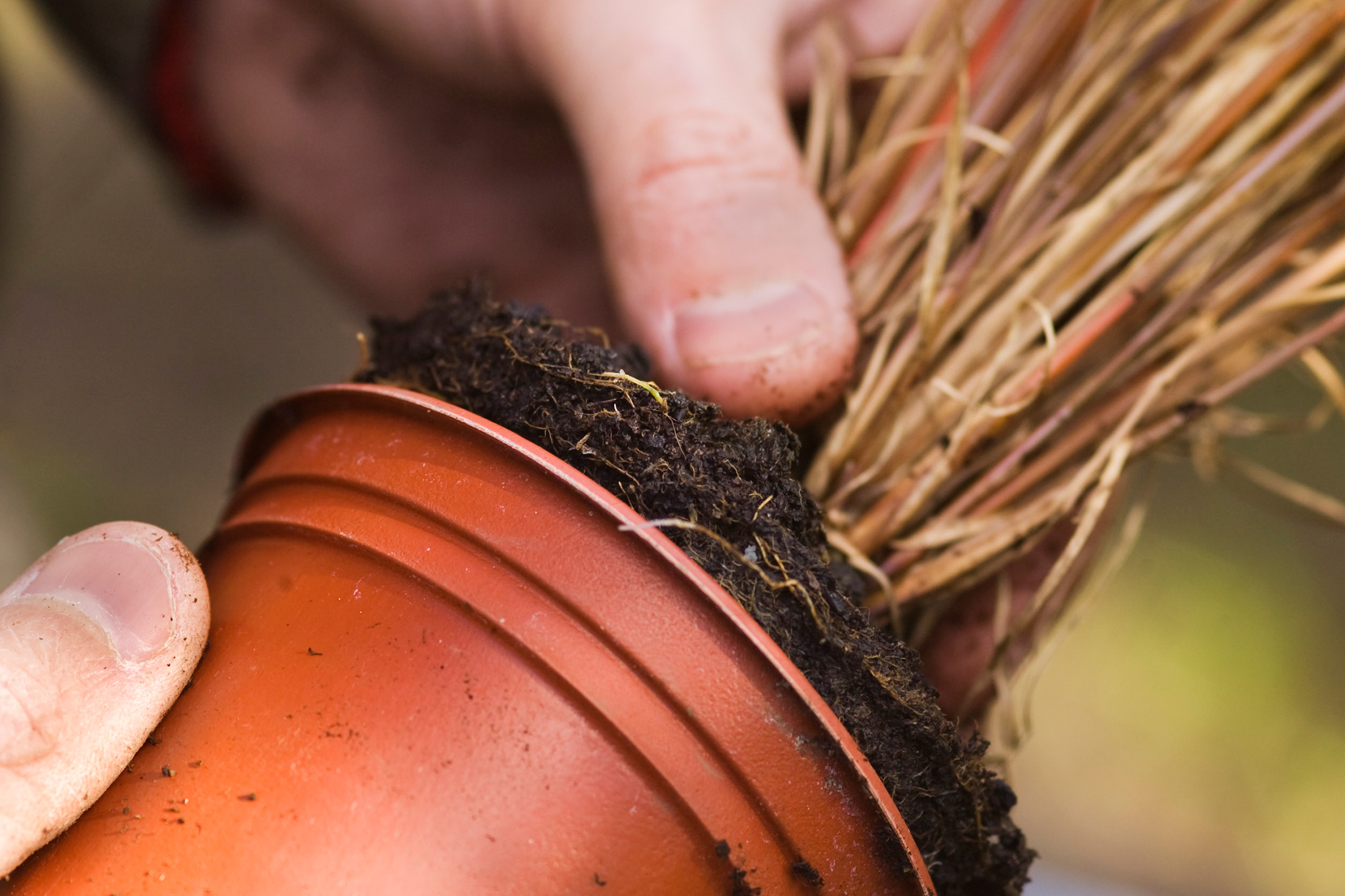 removing-carex-plant-from-its-pot-2