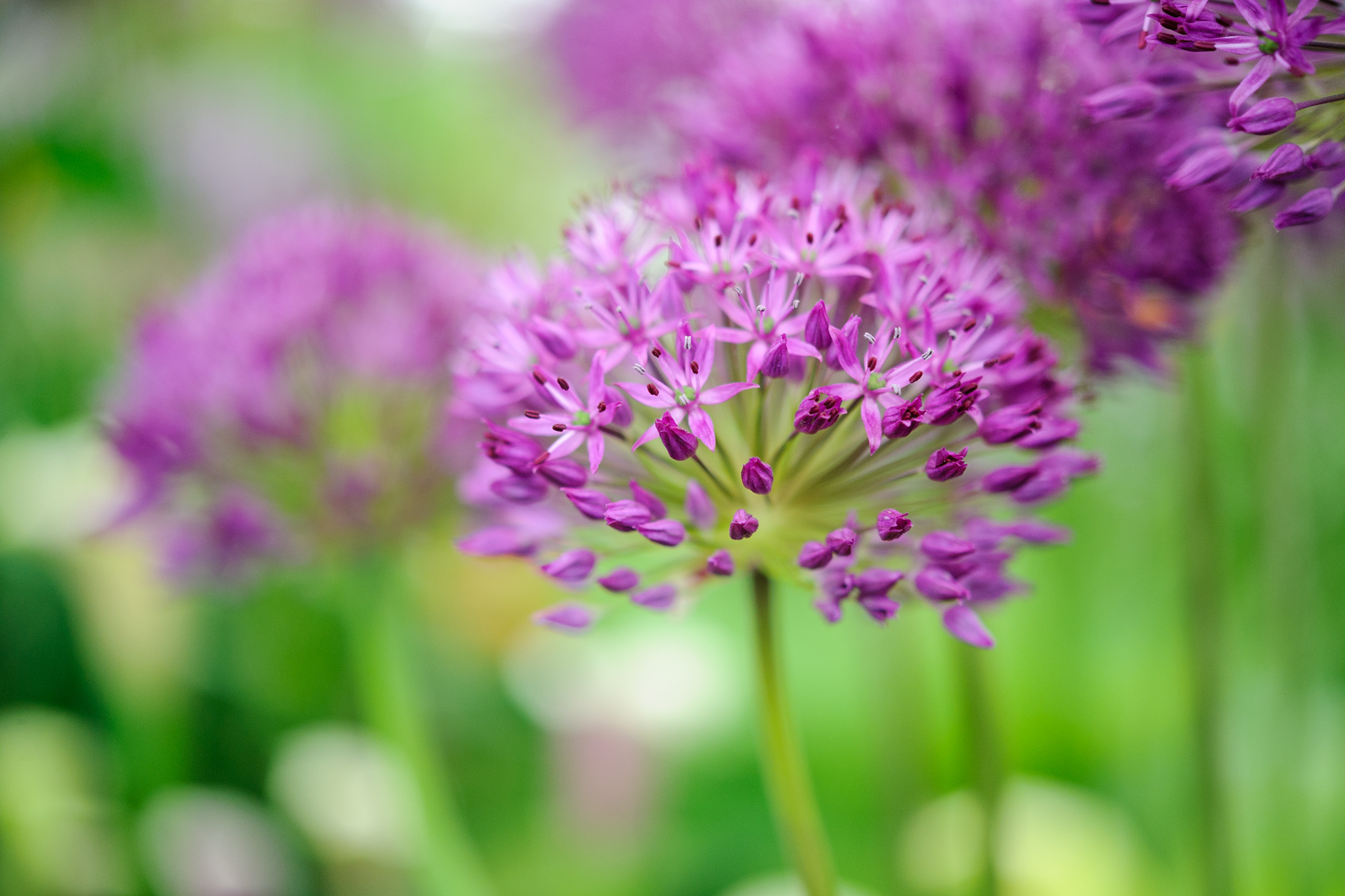 allium-hollandicum-puprle-sensation-2
