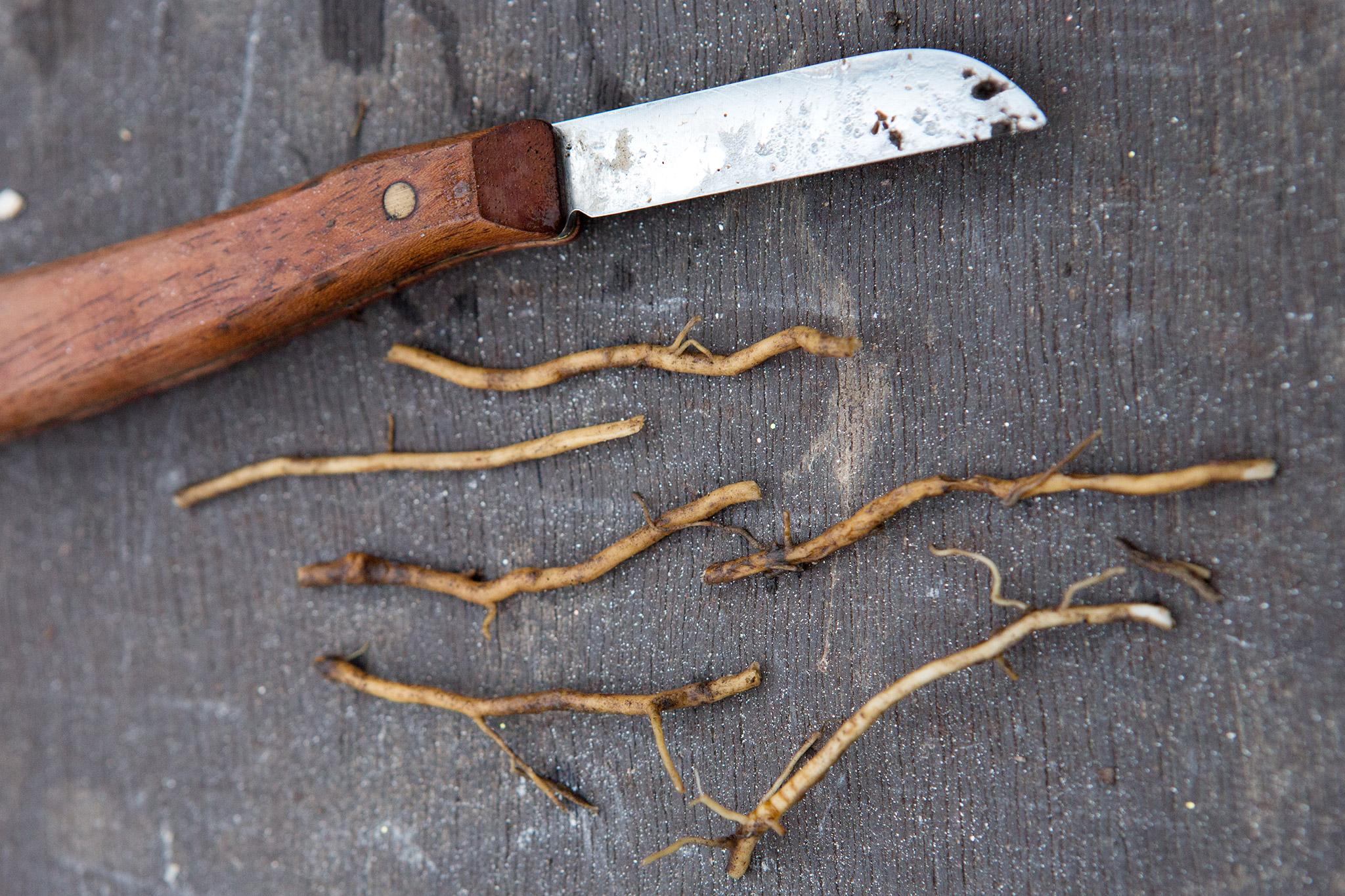 cut-lengths-of-phlox-root-2
