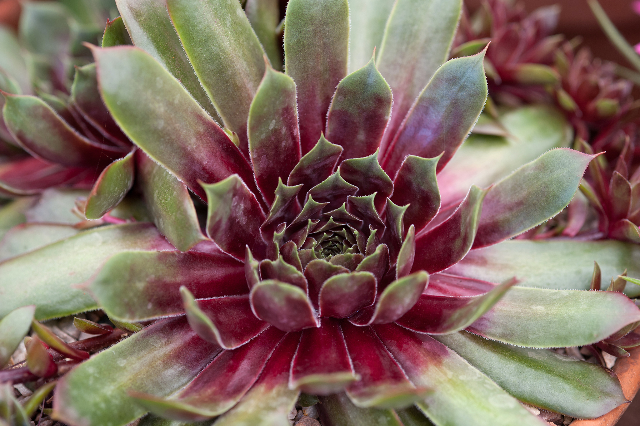 growing-sempervivums-in-pictures-2