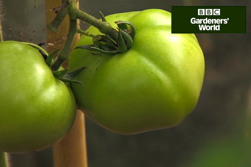 Monty Don's tomato trial part five video