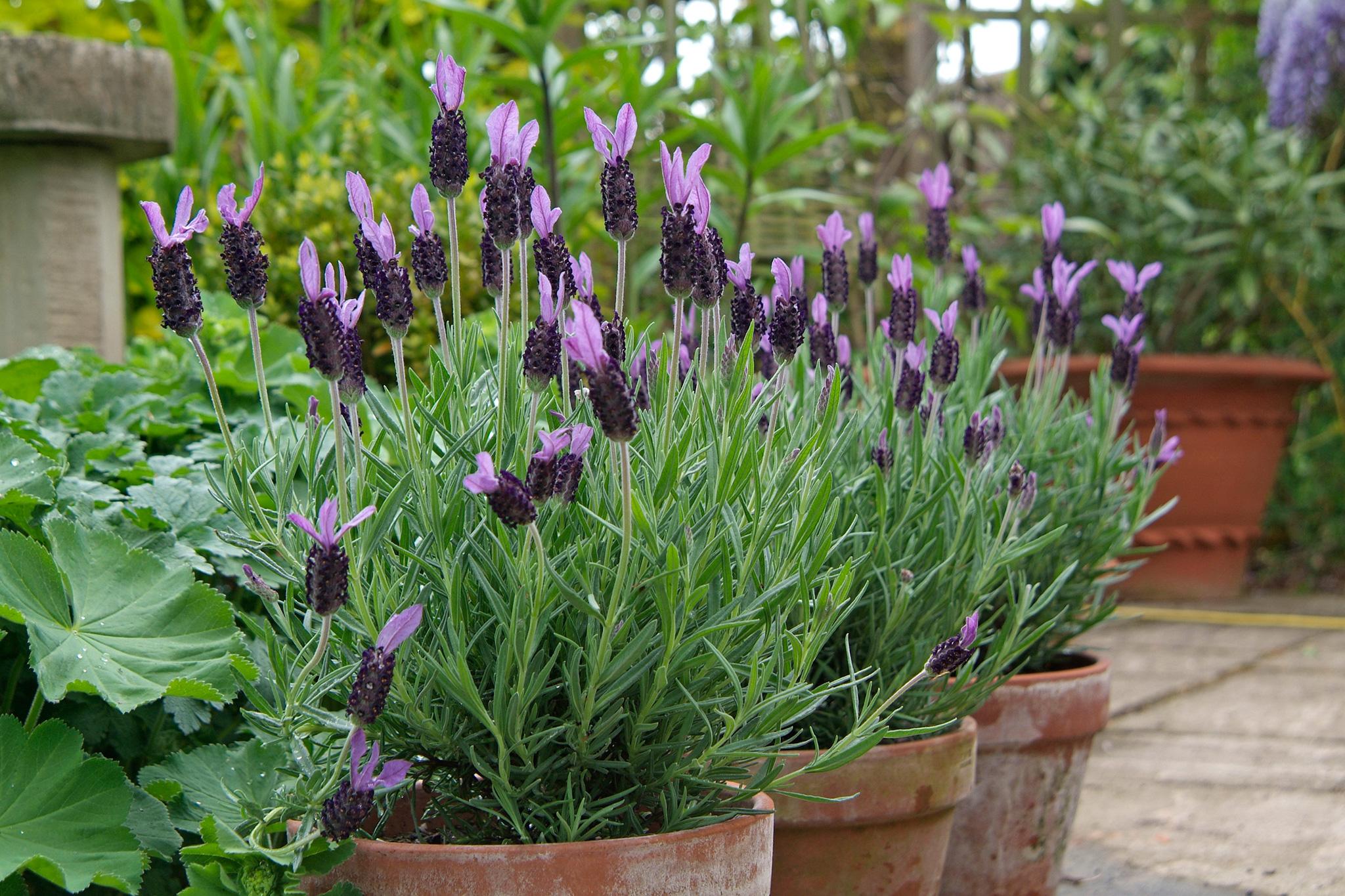 lavender-stoechas-6