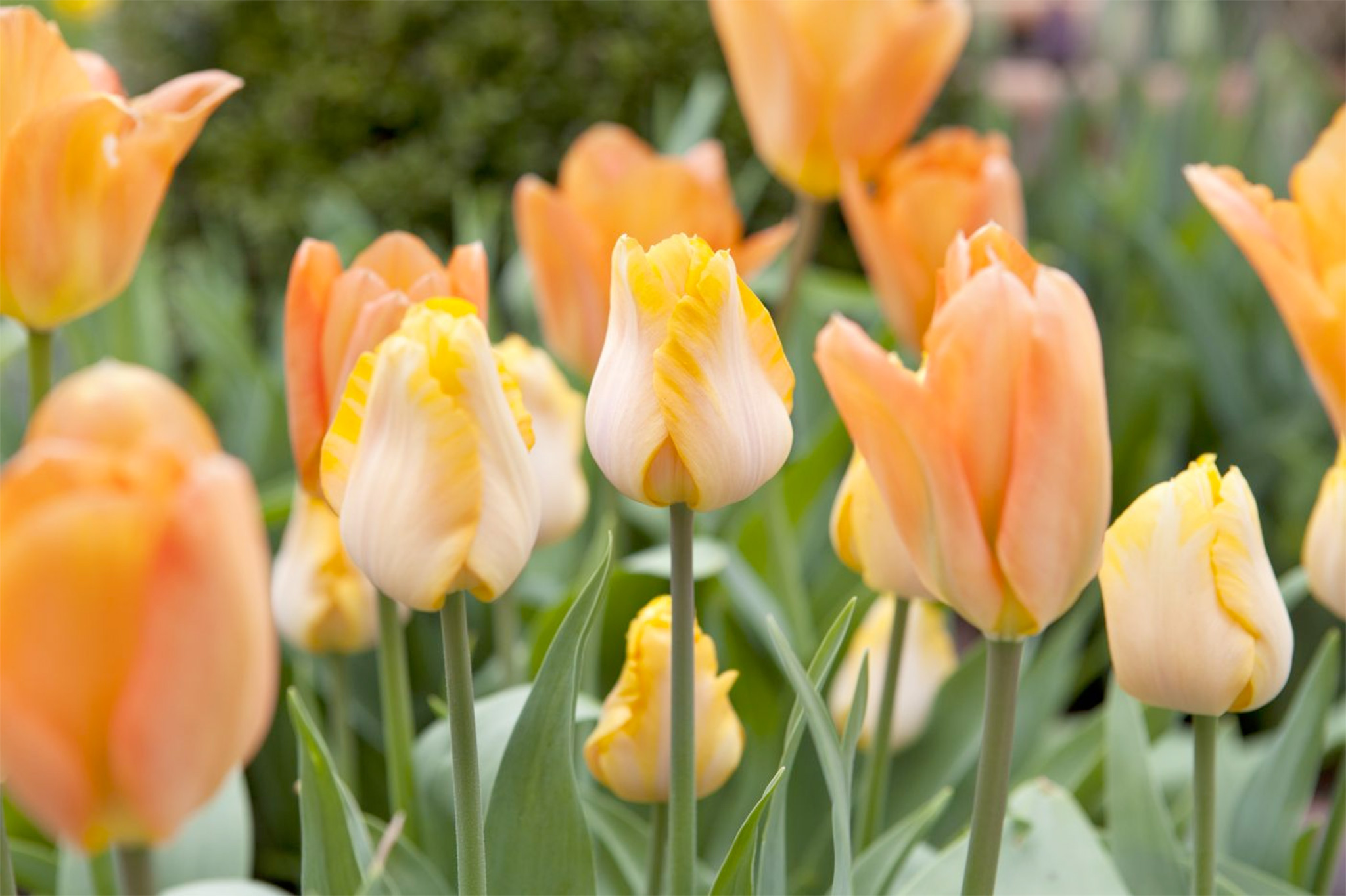 orange-tulip-display-3