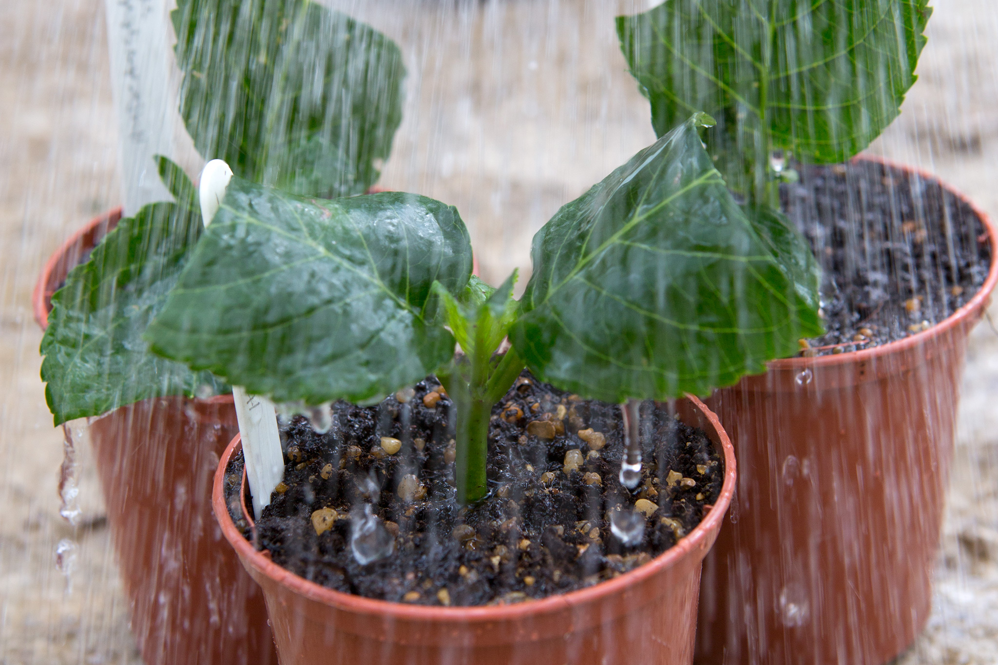 taking-hydrangea-cuttings-3