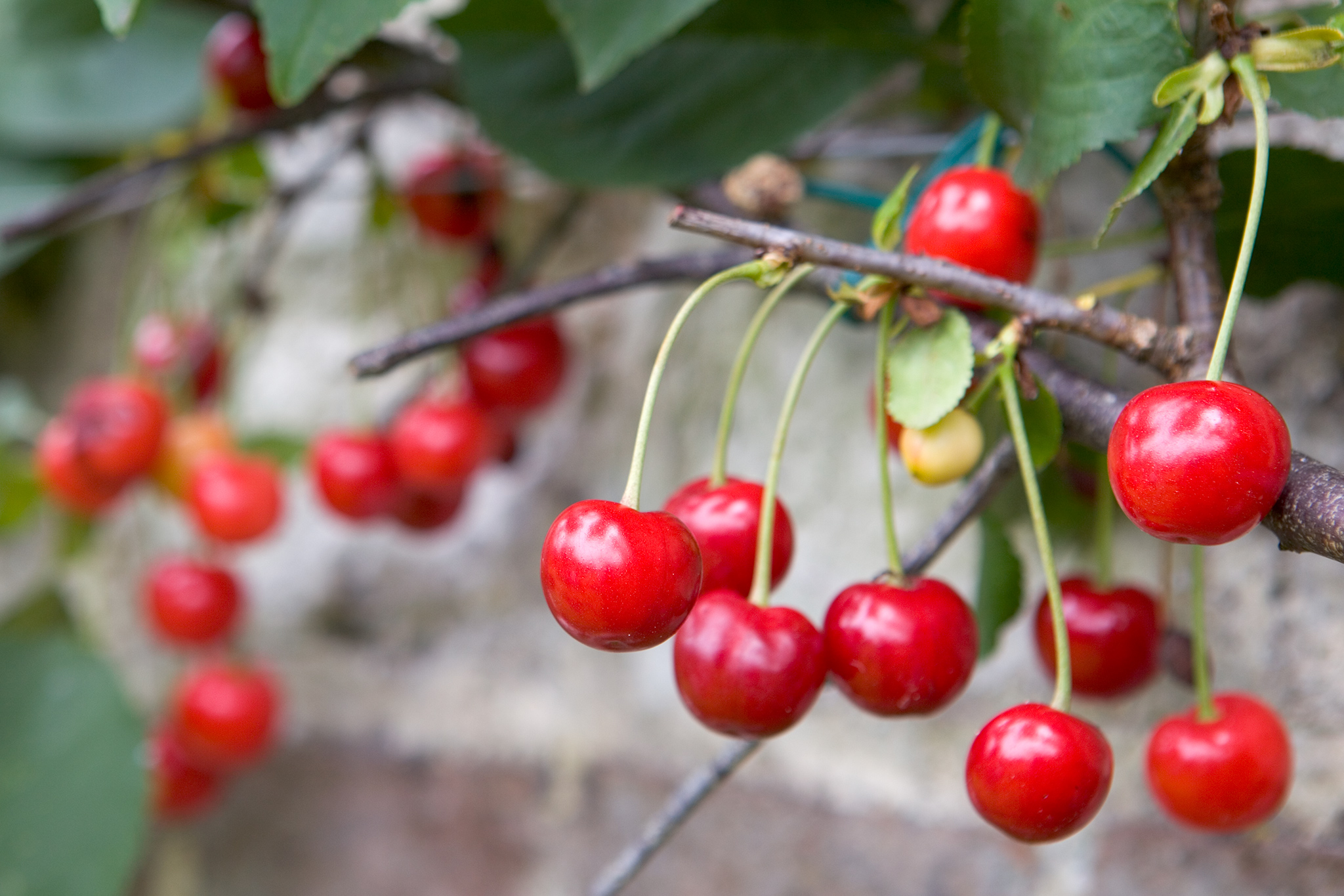 cherries-ready-to-pick-2