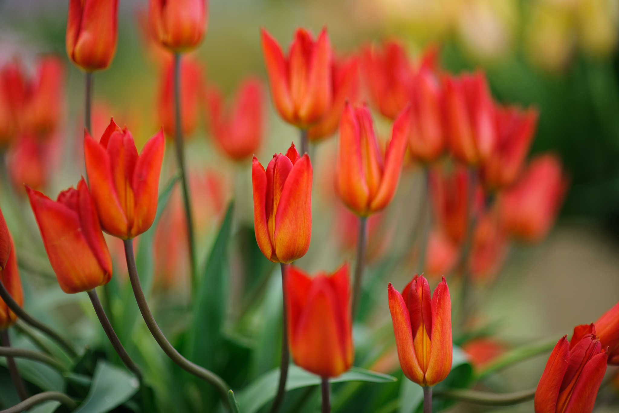tulipa-typhoon-2