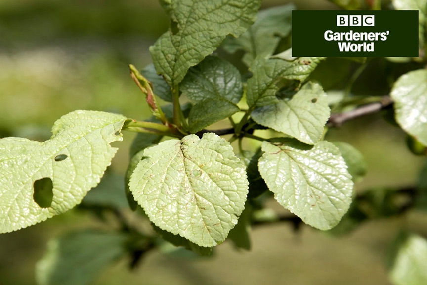 How to tackle silver leaf disease video