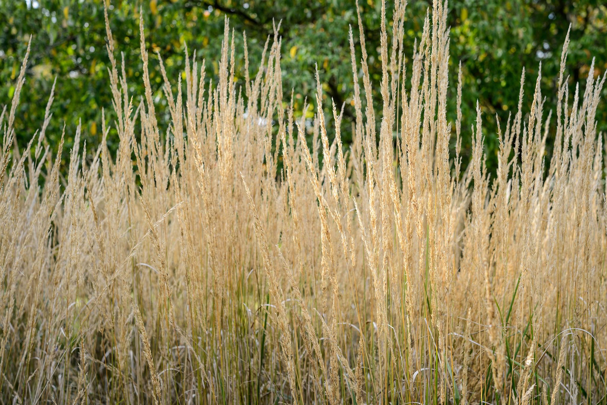 calamagrostis-x-acutiflora-karl-foerster-2