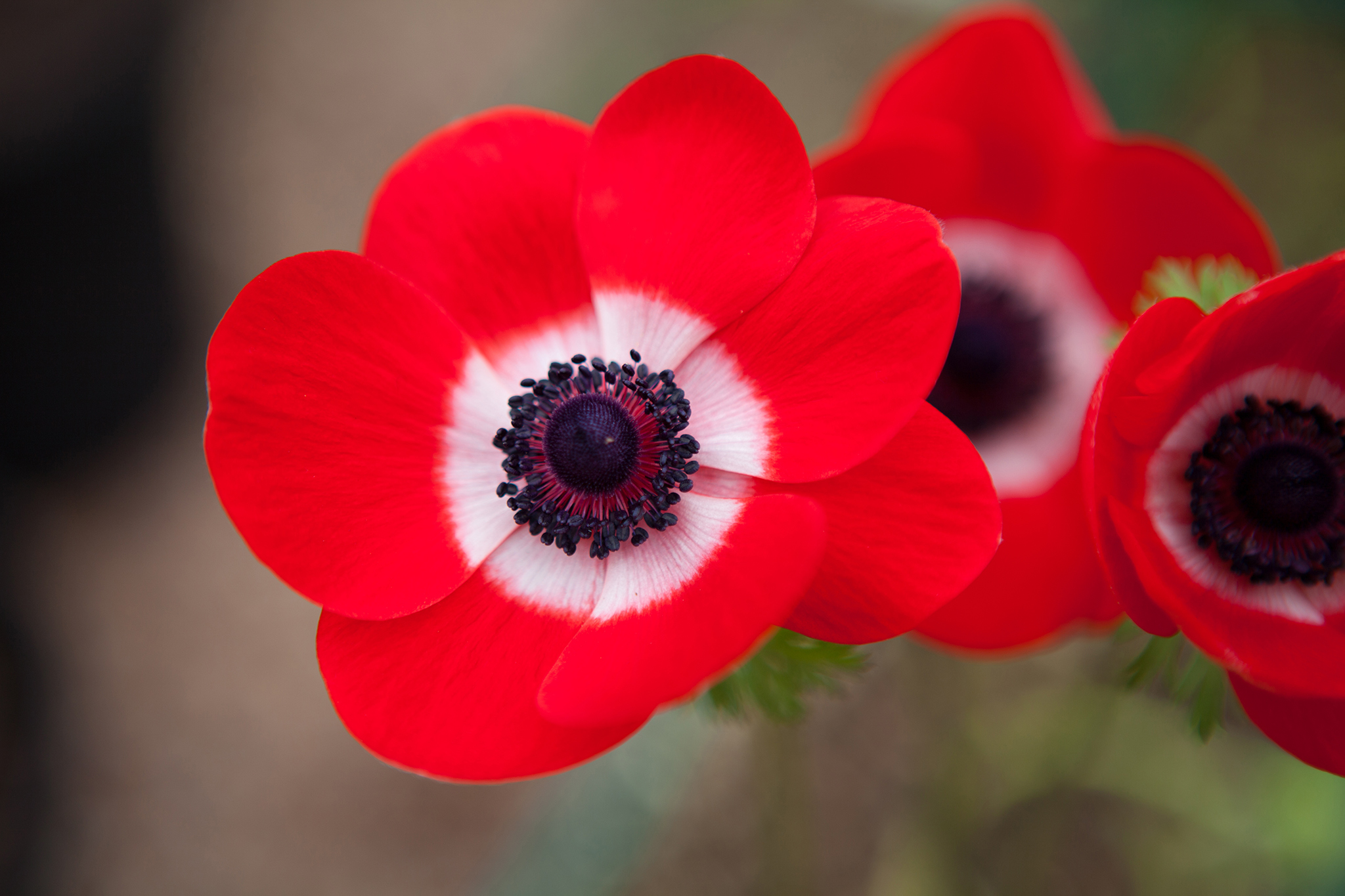 Anemone coronaria De Caen Group flowers