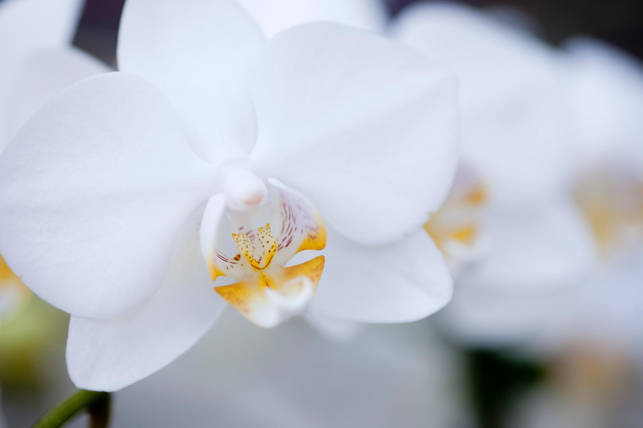phalaenopsis-orchid-14