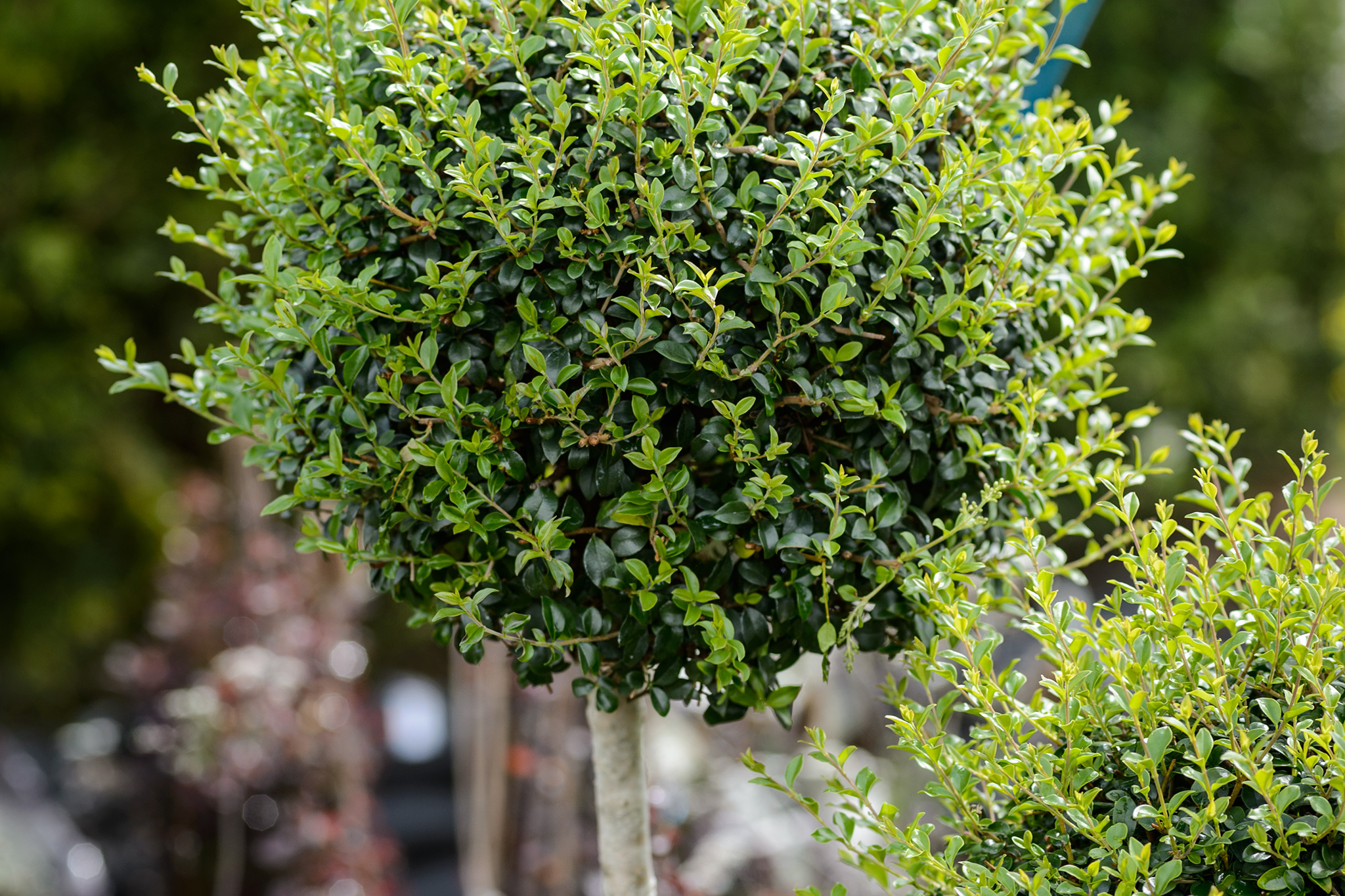 Chinese privet (Ligustrum lucidum) lollipop standard