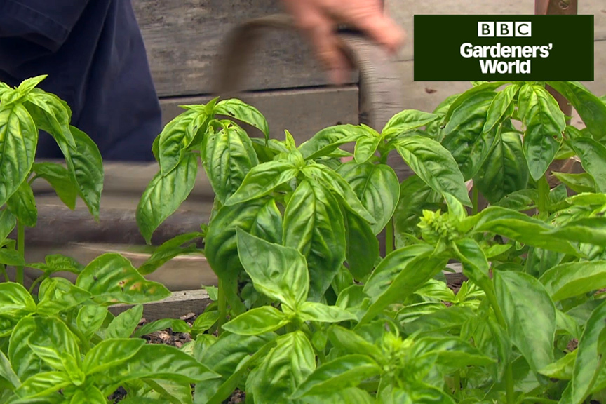 How to harvest basil to make pesto video