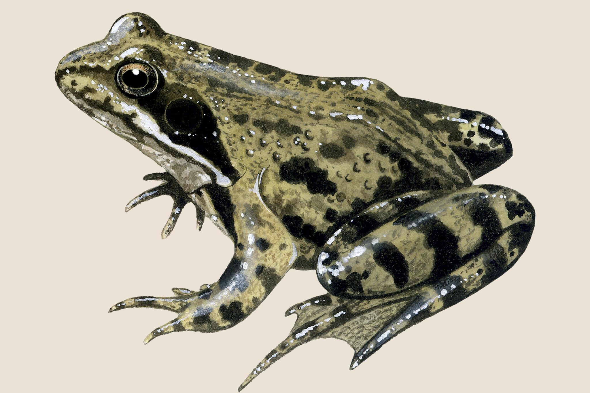 common-frog-3