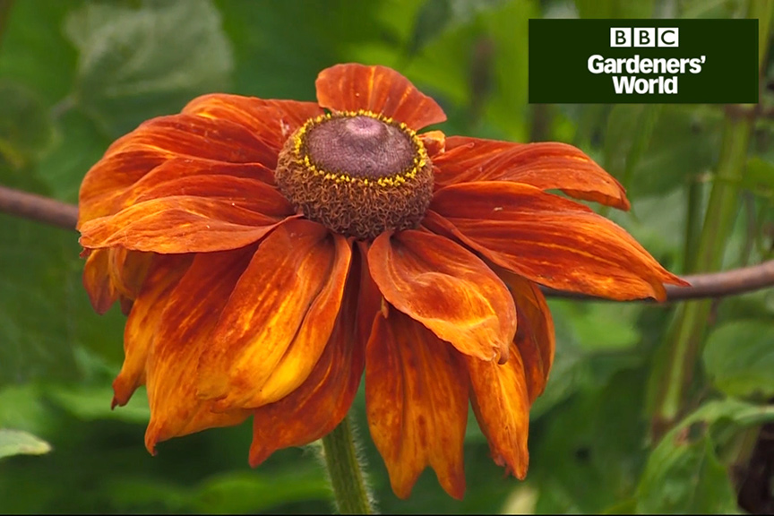 How to add late-summer colour to borders video